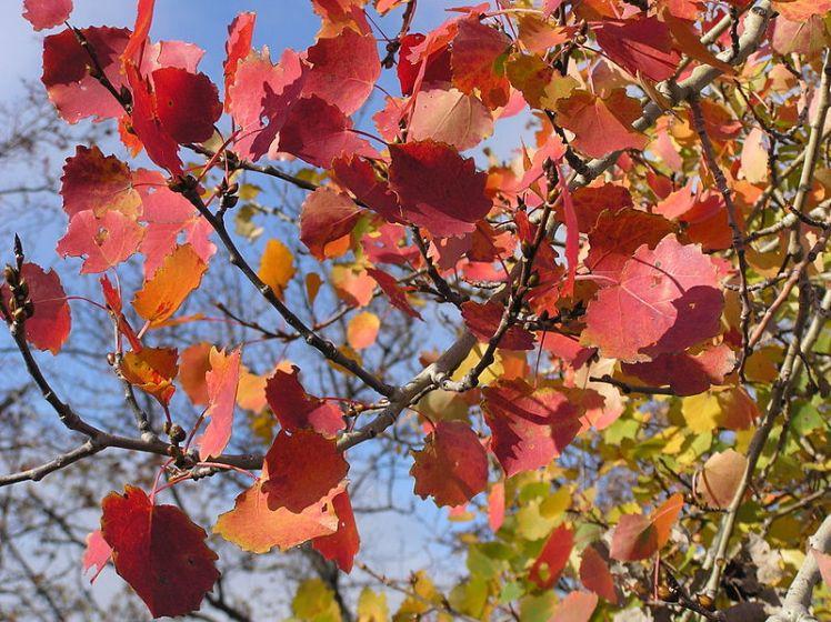 800px-Populus_tremula_fall_leaves_2