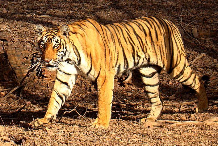 800px-Tiger_in_Ranthambhore