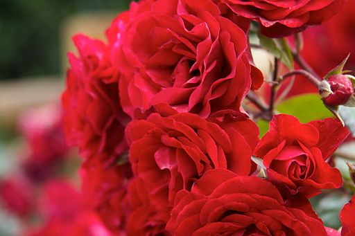 512px-Argentina_-_Bariloche_052_-_stopping_to_smell_the_roses_(6797823011)