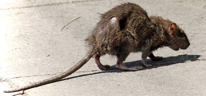 Dirty-rat-on-the-street
