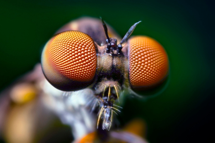 Opo_Terser_-_Compound_Eyes_of_a_Robber_Fly_-_(Holcocephala_fusca)_(by)